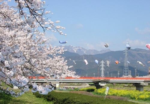 垂井町桜と鯉のぼり