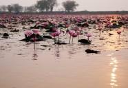 タイ東北地方の紅いハスが咲き乱れる湖「タレーブアデーン」